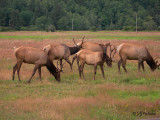 Herd of Wapiti
