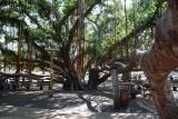 1546 Lahaina Banyan Tree