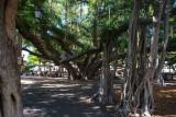 2553 Lahaina Banyan Tree