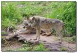 a77-09966-wolfs.JPG