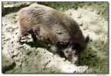 a77-10059-Wildschwein-sm.JPG