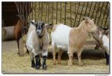 a77-13145-goats-sm.JPG