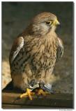a77-13148-falcon-sm.JPG