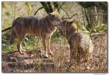 a77-13165-wolfpair-sm.JPG
