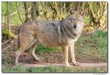 a77-13184-wolf1-sm.JPG