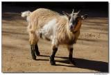 DSC03269-goat-sm.JPG