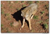 DSC03299-wolf5-sm.JPG