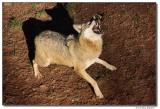 DSC03315-wolf7-sm.JPG