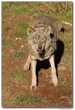 DSC03298-wolf1-sm.JPG