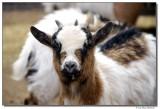 DSC03576-goat-sm.JPG