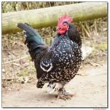 DSC03586-rooster-sm.JPG