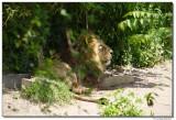 lion1399.JPG