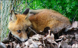 fox_130617_1024.jpg