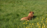 Ängla on the lawn
