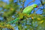 Indian Parrot, Rose-ringed Parakeet (Psittacula krameri)