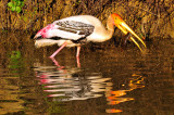 Fishing- Painted Stork (Mycteria leucocephala)