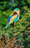 Bird of many colours