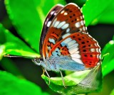 Small Japanese Butterfly