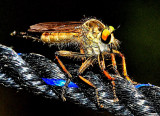 Robber Fly  at Temple Rope