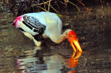 Indian Stork Fishing