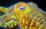 Cuttlefish Eyes