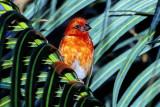 Seychelles Red-headed Fody (Foudia eminentissima)