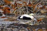 Common Eider (Somateria mollissima) Amidst the Kelp, with Female