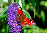 Butterfly on Liliac Flower