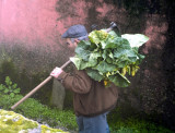 The Cabbage Man