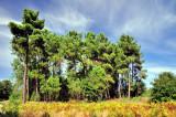 Pine Trees That Saw Me Grow...