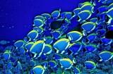 Powder Blue Tangs, the Maldives Ex Libris
