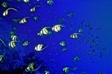 Bannerfish Shaoal