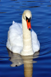Swan Frontal