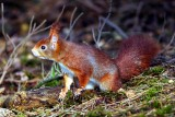 Elusive Red Squirrel