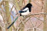 Colourful Magpie
