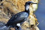Cormorant's Winter Plummage