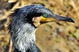 Winter Cormorant Eye