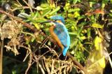 1st 2016 Kingfisher