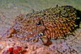 Cuttlefish Sleeping on Sand