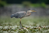 Great Blue Heron & other Birds