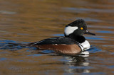 Harle couronn�é (m) / Hooded Merganser (m)