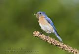 Merle bleu de l'Est (m)  /  Eastern Bluebird  (m)
