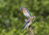 Merle bleu de l'Est (m+f)  /  Eastern Bluebird  (m+f)