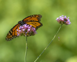 an another flutterby