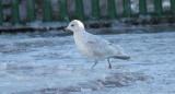 Iceland Gull (Kumlien's)