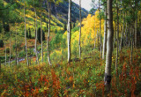 Aspens White Mountains Colorado