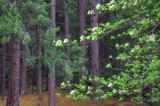 Yosemite Dogwood