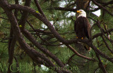 Bald Eagle Firefall