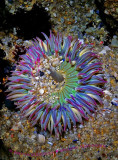 Sea Anemone Asilomar