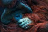 Orangutan Contemplating